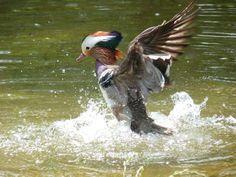 http://faaxaal.forumactif.com/t1277-photos-de-canards-canard-mandarin-aix-galericulata-anas-galericulata-mandarin-duck