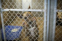 URGENT!!! She is on the list to DIE if not adopted!!!! Please someone Adopt/rescue/foster!!!! Catahoula mix female 1-2 years old Kennel A30 Available NOW**** $51 to adopt Located at Odessa, Texas Animal Control