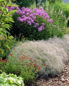 Baby's breath • Gypsophila paniculata • Plants  Flowers • 99Roots.com