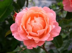 Rosa 'Marie Curie' ®