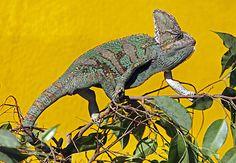 Tierischer Irrtum: Farbwechsel beim Chamäleon