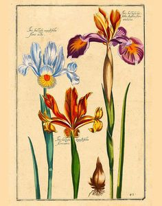 Iris Flower Botanical lithograph Vintage Flowers Floral