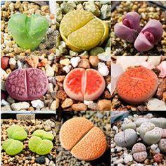 semi 100pcs Lithops Pseudotruncatella Semi succulente pietra grezza semi di fiori piante grasse Cactus Seeds # 1559