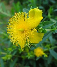 Hypericum Prolificum Cinnamon Stick