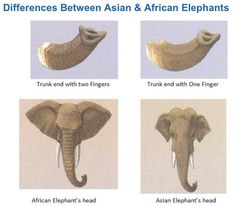 Difference between Asian and African elephants