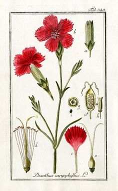 Botanical Illustration  Carnation, Dianthus caryophyllus