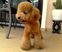 Image result for toy poodle teddy bear cut