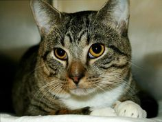 TO BE DESTROYED 11/8/13 Manhattan Center  My name is MAXIE. My Animal ID # is A0981429. I am a male brn tabby and white domestic sh mix. The shelter thinks I am about 3 YEARS old.  I came in the shelter as a SEIZED on 10/07/2013 from NY 10025, owner surrender reason stated was OWN ARREST. https://www.facebook.com/photo.php?fbid=694342720577563&set=a.576546742357162.1073741827.155925874419253&type=3&theater