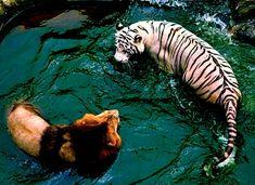facebook cover photo tiger - Google keresés