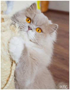 British longhair in lilac/white color
