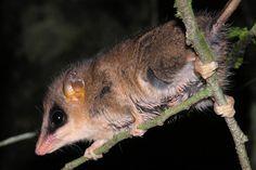 O cuíca (Gracilinanus microtarsus) é um marsupial endêmico da Mata Atlântica, mas também não está ameaçado. Foto: Thomas Püttker.