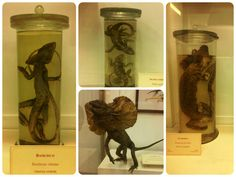Dragons, dinosaurs or lizards? Some taxidermized reptiles from the Medici zoological collection (XVIII century). La Specola Museum, Florence.
