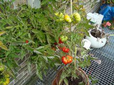tomaten waren perfect voor smakelijke tomatensaus