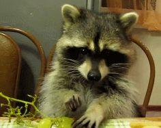 Resultado de imagen para mapaches gifs
