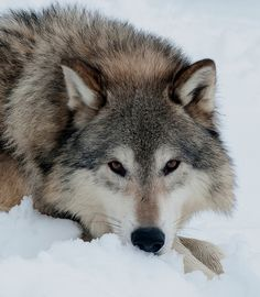 Wolf Close-up by Jacki Just-Pienta