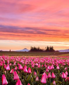 The annual Wooden Shoe Tulip Festival is more than 40 acres of beautiful blooms and views. Photo by instagrammmer vldntaylor.
