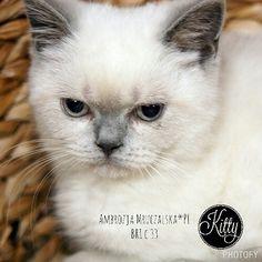 Ambrozja Mruczalska*PL - British Shorthair kitten - lilac point - BRI c 33