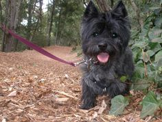 Black cairn terrier
