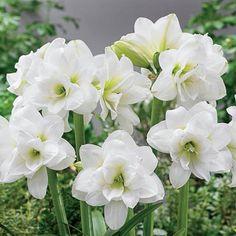Alaska or Alasca Sonatini Amaryllis Bulb - cm Bulb Exotic Flowers, Colorful Flowers, White Flowers, Beautiful Flowers, Beautiful Gardens, Bulb Flowers, Flower Pots, Flower Farm, Amaryllis Bulbs