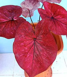 Caladium plant Hot Lips (Ma Had Thai) elephant ear $6.99