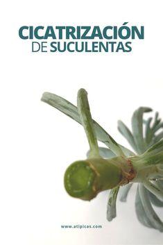 Types Of Succulents, Planting Succulents, Garden Plants, Indoor Plants, Succulent Care, Succulent Terrarium, Suculent Plants, Cactus E Suculentas, Kalanchoe Blossfeldiana