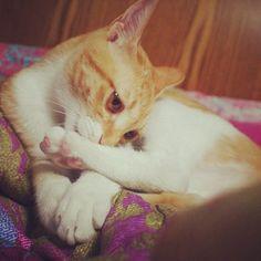 #CheeseCat #Suni #koreanshorthair #cat #cats #catsofinstagram #kitten #고양이 #냥이 #ねこ #猫 #kittiesofinstagram - @apictory- #webstagram