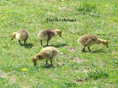 4 x 6 Photo Print Baby Canada Geese Goslings on by krafterskorner, $1.99