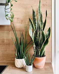 Easy Care Indoor Plants, Best Indoor Plants, Water Plants, Cool Plants, Snake Plant Care, Sansevieria Plant, Belle Plante, Decoration Plante, Pot Plante