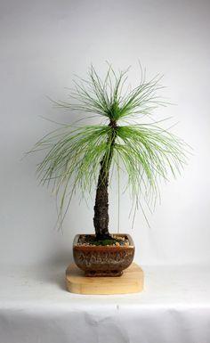 "Eastern Pine Bonsai Tree ""Spring'16 Conifer Collection"" by LiveBonsaiTree by LiveBonsaiTree on Etsy"