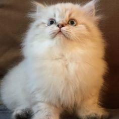 #creme persian  #kitten #cute