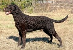 Curly Coated Retriever Breeders