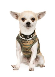 1000 ideas about chihuahua clothes on pinterest - Dog clothes for chihuahuas ...