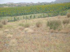 남아프리카공화국 해바라기 농장