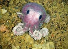 Octopuses actually do make gardens by collecting stones and shiny things and arranging them in the sand. Ringo was right. | The 35 Cutest Facts Of All Time