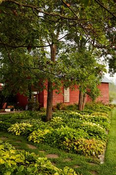 Twenty varieties of hosta create a lush patchwork in front of this New Hampshire barn.