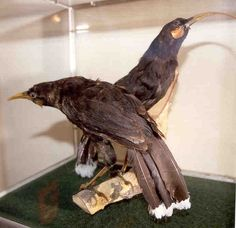 Huia Bird-Extinct Animals That Science Could Bring Back From The de@d