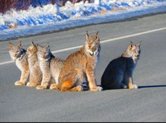 Don't see this every day! A family of lynx spotted on the Haines highway soaking up some sun! ☀️ Ever seen a lynx? by Melody Anne McKenzie I Love Cats, Big Cats, Cats And Kittens, Cute Cats, Beautiful Cats, Animals Beautiful, Kitten Surprise, Canada Lynx, Animals And Pets