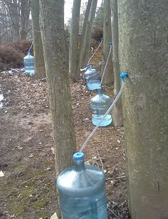 Collecting maple tree sap for making maple syrup. Sap can only be collected in the early spring. Maple Syrup Tree, Maple Syrup Evaporator, Tapping Maple Trees, Sugar Bush, Sugaring, Wild Edibles, Homestead Survival, Hobby Farms, Plantation
