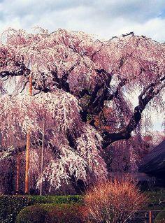 慈雲寺 糸桜 #sakura #CherryBlossom Cherry Blossom Japan, Cherry Blossoms, Japanese Flowers, Japan Photo, Flowering Trees, Great View, Places To See, Beautiful Places, Scenery