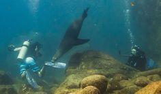 """don't bite my fin!"" - Scuba diving with sea lions in the Sea of Cortez, Baja California Sur, Mexico"