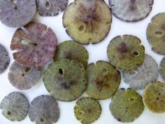 small sand dollar colors