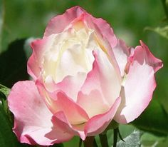 'Delany Sisters' Rose – Sheridan Nurseries - Saw this rose at Dow Gardens in Midland, Mi. It was gorgeous.