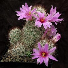 200499410-Mammillaria_schumannii_074_20131013.jpg (600×600)