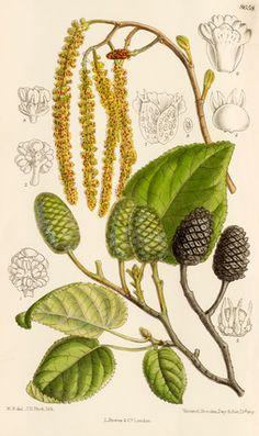 Alnus sp. alder SAD, short petiole, aments, ovate Woody strobiles, small egg shapes, persistent Fix nitrogen
