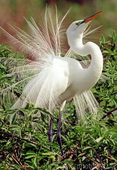 Great Egret Courtship Display - Stock Image Z820/0223 - enlarged ...(these birds are everywhere in south Louisiana)