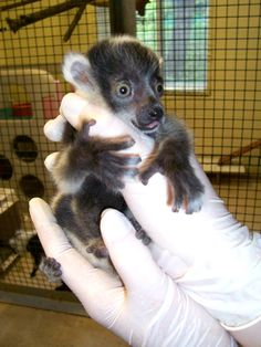 Wide-eyed Ruffed Lemur triplets debut at the Binder Park Zoo