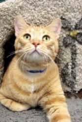 Tigger is an adoptable Domestic Short Hair Cat in Chicago, IL. Tigger is a sharp looking guy who came to the shelter when his owner was moving and couldn't take him along. Tigger is friendly, playful ...