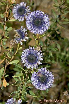 Flores Silvestres del Mediterráneo: Globulariaceae: Globularia alypum