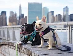 #bestfriends #boyclub @oscarfrenchienyc And @frenchieleo  Don't forget about our #FrenchieFriday Giveaway!  Heres how to get free Frenchie Gear every week:  1. Follow @frenchie_bulldog  2. Like any of our posts from the current week 3. Tag your Bestie in a comment on any of the posts from the current week! That's it! Enter as many times as you want! Every #FrenchieFriday we will choose participants from any of the posts that week to win a special prize from http://ift.tt/11S9zWI by…