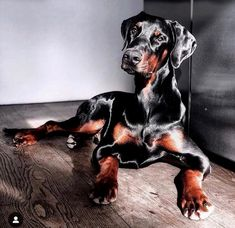 The Doberman Pinscher is among the most popular breed of dogs in the world. Known for its intelligence and loyalty, the Pinscher is both a police- favorite bree White Doberman Pinscher, Black Doberman, Doberman Mix, Cute Funny Animals, Funny Dogs, Cute Dogs, Doberman Training, Dog Best Friend, Dog Paintings